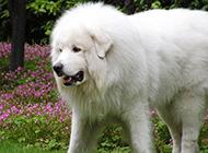 美丽高雅的巨型大白熊犬图片