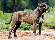 加纳利犬野外帅气特写图片