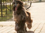 纯种奔跑的阿富汗猎犬图片