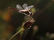枝头停住的红蜻蜓图片