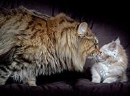 美国缅因猫甜蜜有爱图片