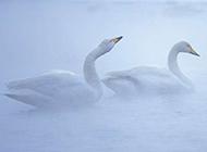 白天鹅栖息组图白色羽毛纤尘不染