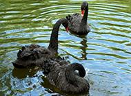 优雅的黑天鹅萌萌动物图高清壁纸