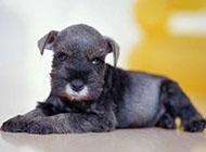 可爱的标准雪纳瑞犬高清图片