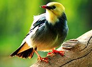 红嘴白玉鸟羽翼斑斓图片