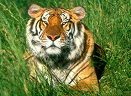 百兽之王凶猛老虎动物图片