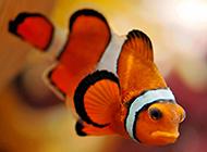 表情忧伤的红色小丑鱼图片