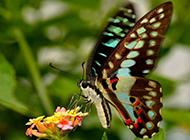 美丽蝴蝶图片大全昆虫特写精选