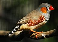 羽毛斑斓的小珍珠鸟图片