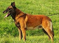 纯种比利时马犬户外活动图片