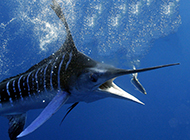 深海捕食的热带剑鱼图片