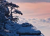 冬日傲霜斗雪的松树高清图片