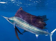 游泳能手美国旗鱼图片