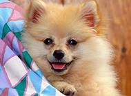 宠物狗博美犬神舌头图片