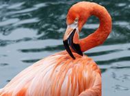 湖面上的火烈鸟高清图片