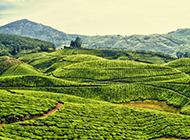 唯美绿色茶园风景壁纸纯净优雅