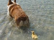 认狗做母的两只小鸡