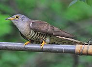 可爱机灵的布谷鸟幼鸟图片