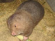 中华竹鼠吃竹子图片