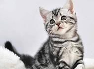纯种美国短毛猫性格活泼图片