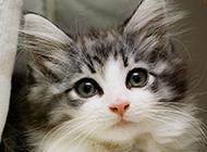 纯种挪威森林猫图片萌萌哒