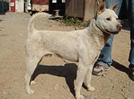 白色聪明中华田园犬图片