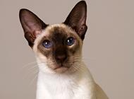 淡紫虎斑暹罗猫图片壁纸大全