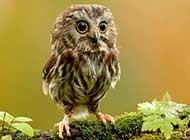超萌的小猫头鹰动物高清图片
