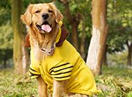 金毛寻回犬穿衣服图片