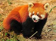 可爱小浣熊丛林动物图片壁纸