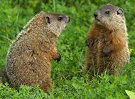 有趣可爱的地鼠图片