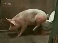 史上最聪明的猪