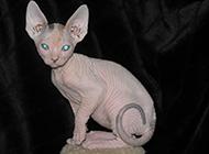 高贵乖巧的斯芬克斯猫图片