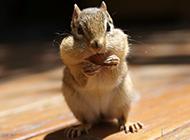 杂食动物可爱的花栗鼠图片