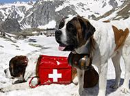 圣伯纳犬雪地救援的图片