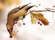 大太平鸟觅食图片欣赏