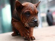 可爱呆萌的川东猎犬图片