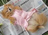 狐狸犬幼犬可爱撒娇图片
