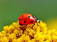 漂亮的小昆虫七星瓢虫图片