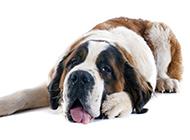 大型圣伯纳犬胖乎乎的图片