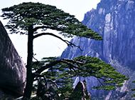 高清黄山松唯美风景摄影