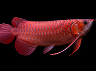 成年红龙鱼图美极了
