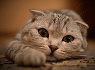 超萌猫咪图片 逗趣的苏格兰折耳猫