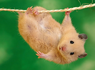 淘气机灵的仓鼠图片