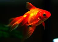 小红金鱼水中畅游图片
