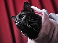 造型可爱的孟买猫图片