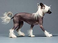 中国冠毛犬纤细侧影图片