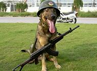 警犬幼崽帅气装扮图片