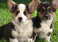 两只超可爱的小柯基犬图片