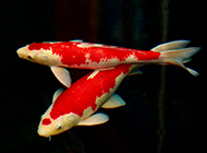 色彩斑斓的顶级日本锦鲤图片